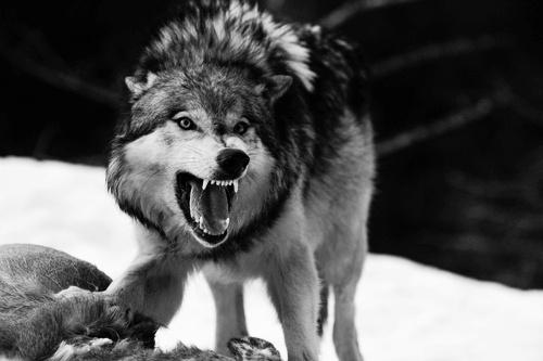 Bmjr1gh3rkgzrmu9atgk_desktop-black-and-white-wolf-photos-download