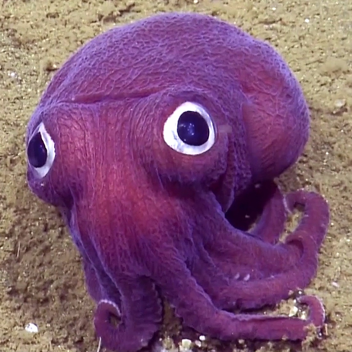 T6keqigdsuowlfx9mb4t_this_googly-eyed_squid_gives_sober_scientists_the_giggles_-_today