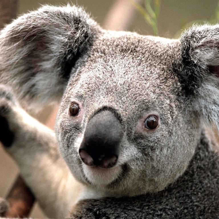 T7xscjdftnqusy1li5gd_koala