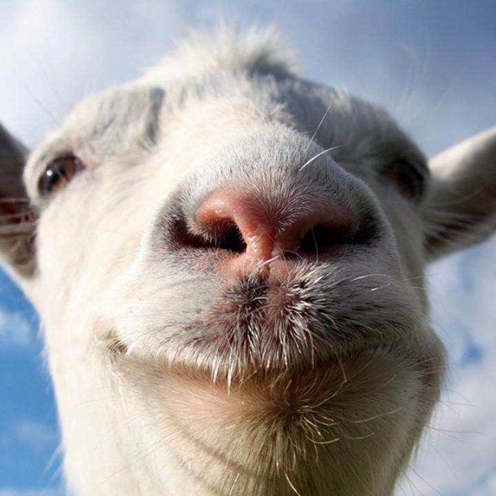 Weadb68trlqnkmtxflxn_goat