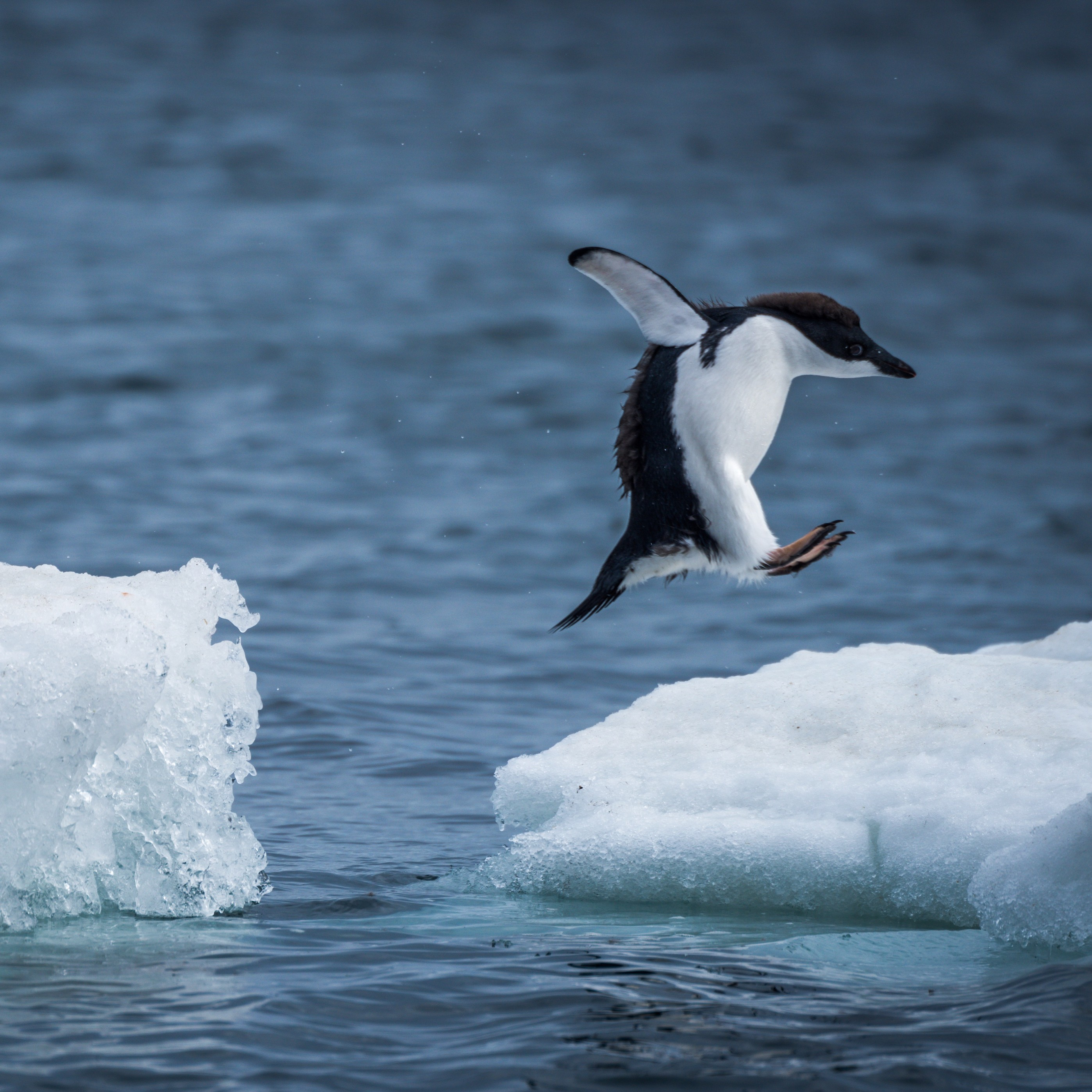 Sujefatosamc1bppm3bw_adelie-penguin-jumping-between-two-ice-floes-518680544_4415x2947