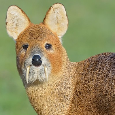 Ua3zlzctaodkonsszzkk_chinese_water_deer__flickr