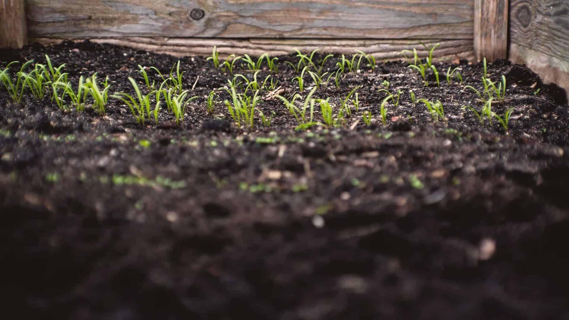 Mudas crescendo em horta de quintal