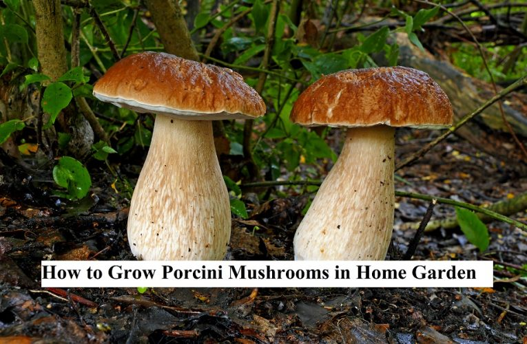 How to Grow Porcini Mushrooms in Home Garden   Posts by ...