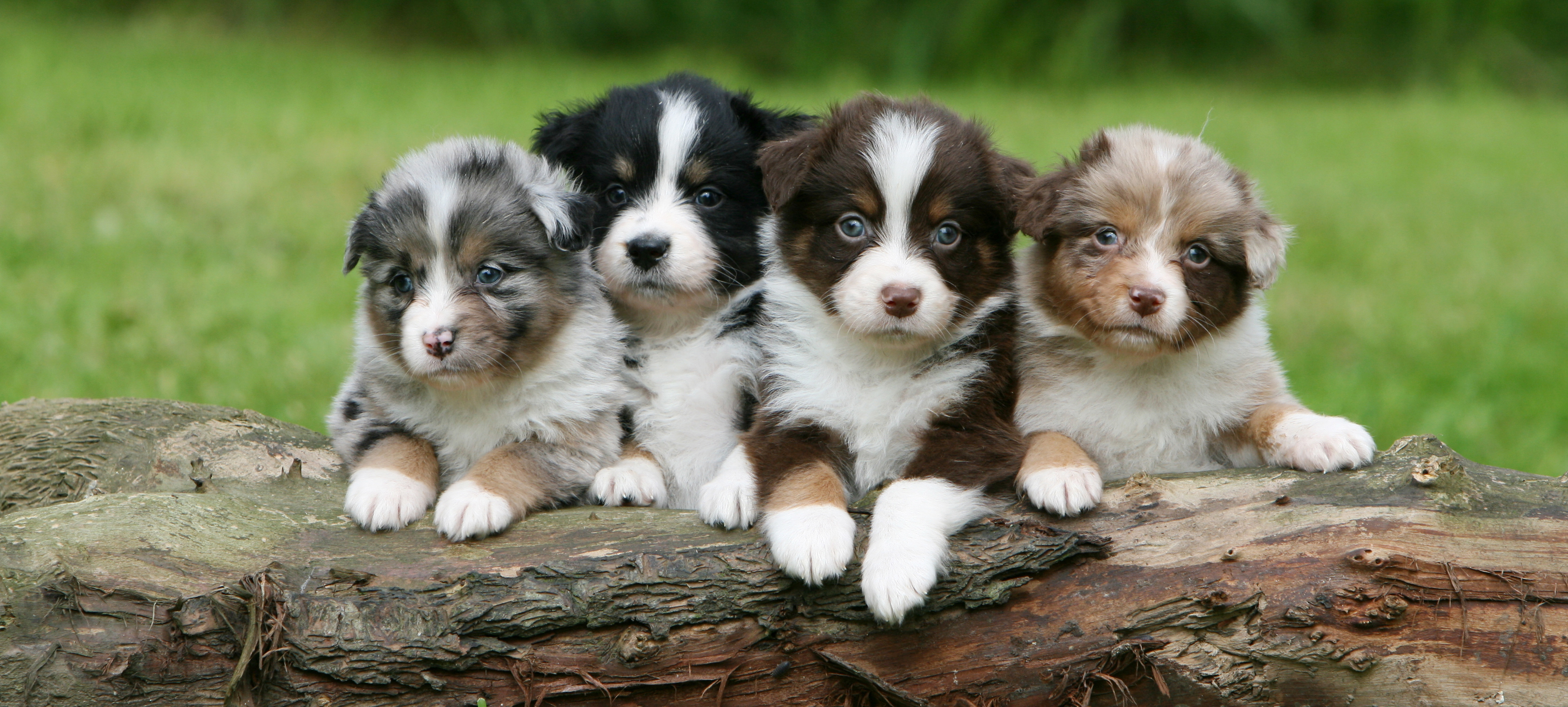 Australian Shepherds for Sale (Posts by foxyaussieshome)