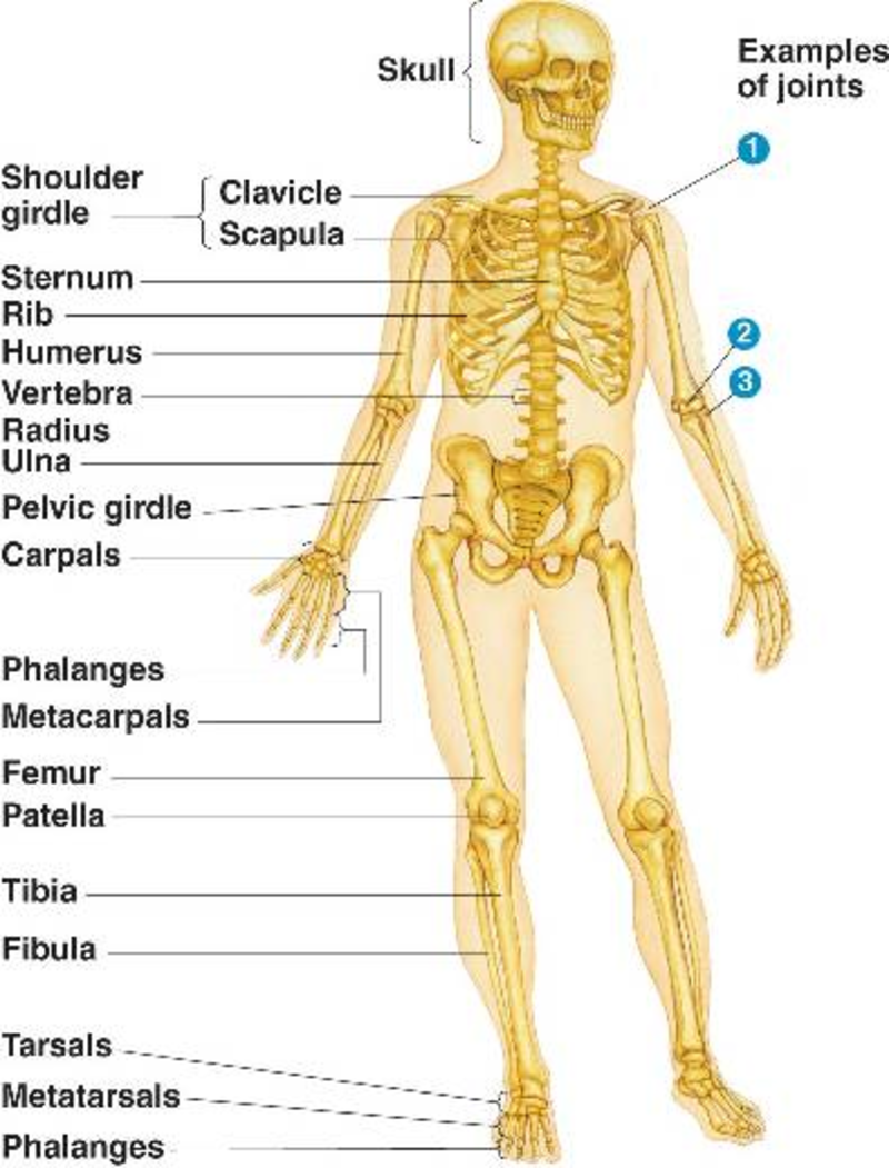 Fourth Grade Lesson The Skeletal System Betterlesson