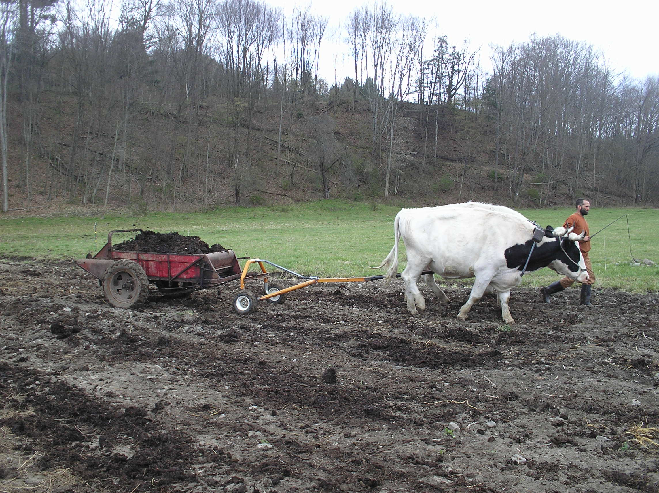 working oxen on the farm today cornell small farms program