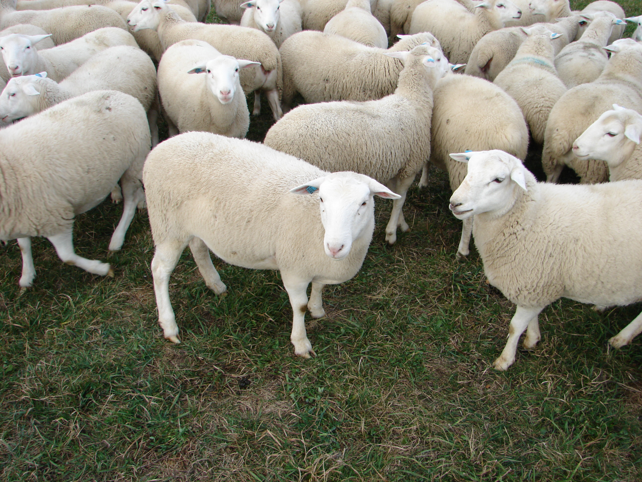 Dorper Sheep: Truths and Myths | Cornell Small Farms Program