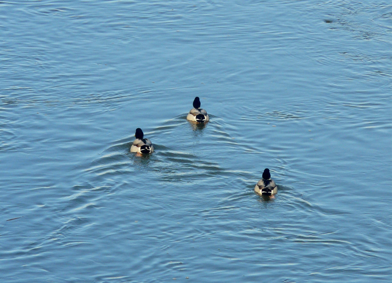 Drei-Enten