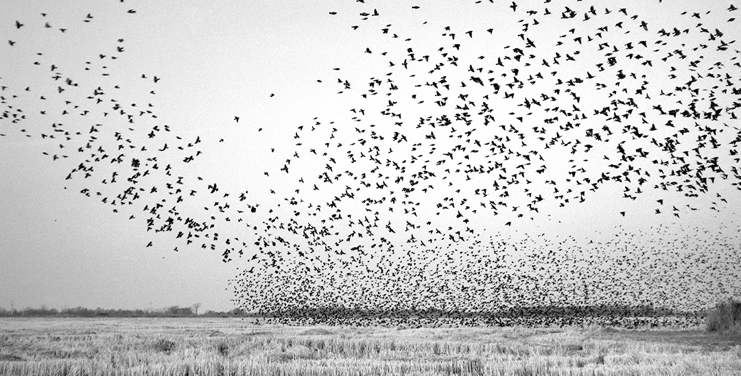 Birds in Field, Mound Bayou, MS 2010