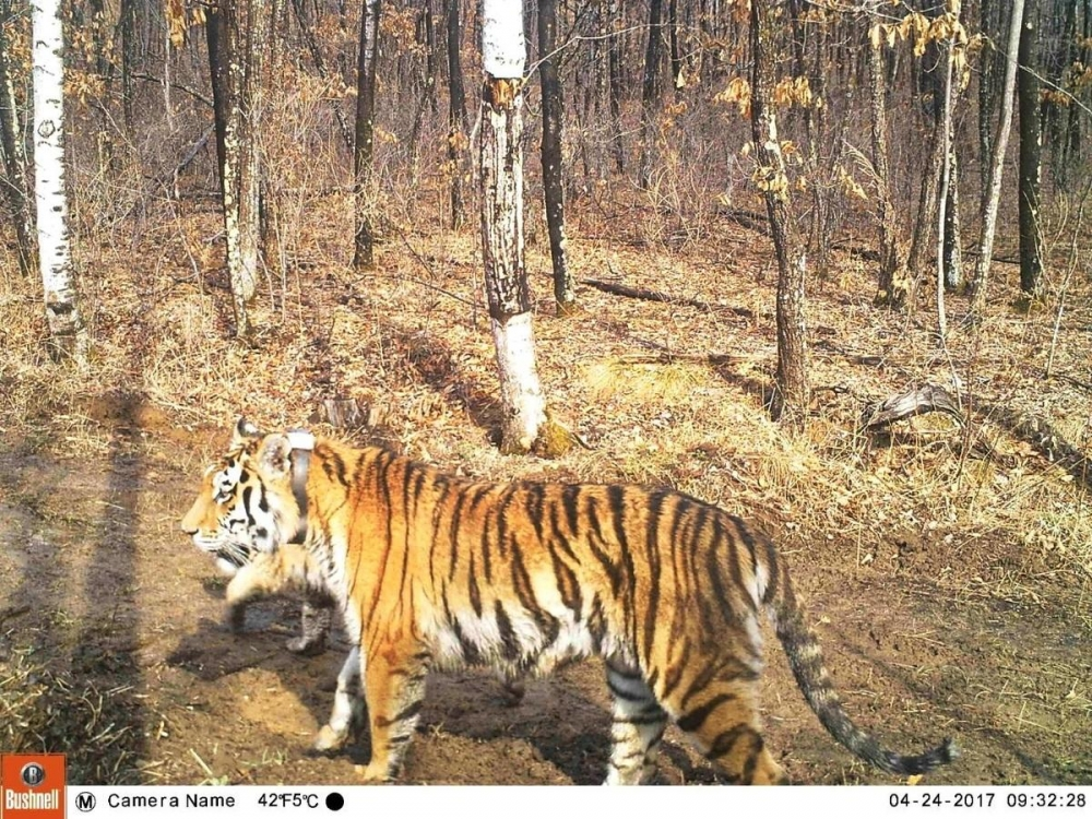 ORPHANED TIGER NOW A MOTHER