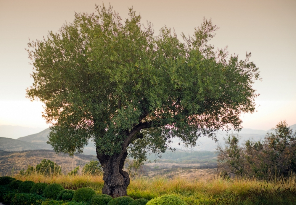 100 Year Olive Tree and sunset view from the tasting room