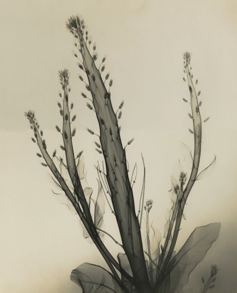 Dr. Dain L. Tasker - Desert Candle Reversed, 1937 - Howard Greenberg Gallery