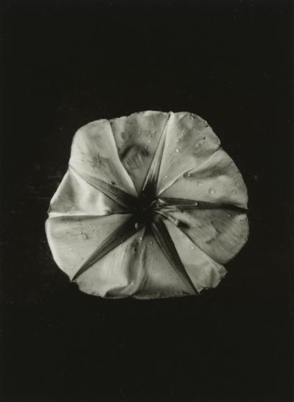 Dorothy Norman - Moonflower, Woods Hole, 1936 - Howard Greenberg Gallery