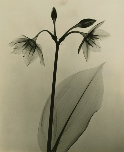 Dr. Dain L. Tasker - Amazon Lily, 1930 - Howard Greenberg Gallery