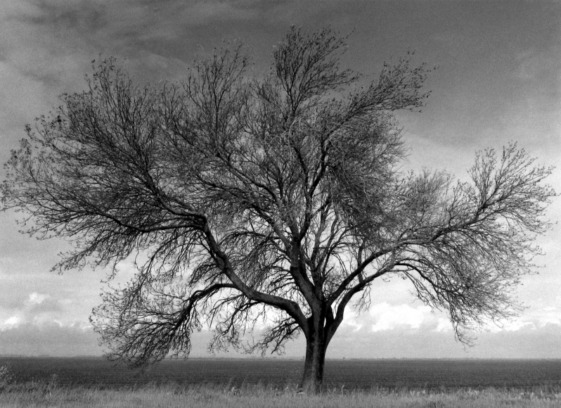 Mark Citret - Walnut Tree, Sutter Basin, 2003  - Howard Greenberg Gallery