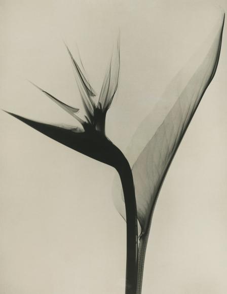 Dr. Dain L. Tasker - Bird of Paradise, 1930s - Howard Greenberg Gallery