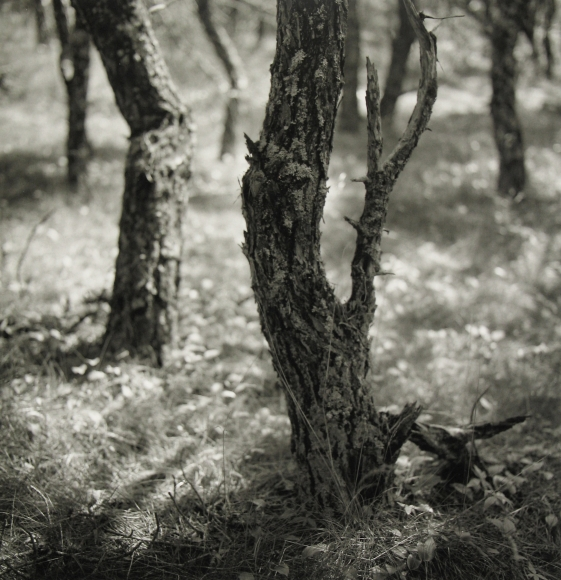 Eric Lindbloom - Pinewoods #28, North Truro, MA, 2003 - Howard Greenberg Gallery