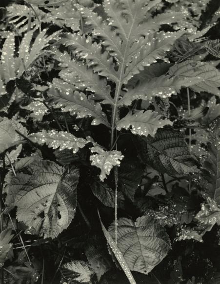 Paul Strand - Fern, Early Morning Dew, Georgetown, Maine, 1927 - Howard Greenberg Gallery