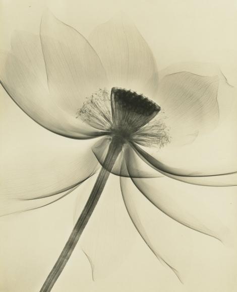 Dr. Dain L. Tasker - Lotus, Wide Open, 1935 - Howard Greenberg Gallery