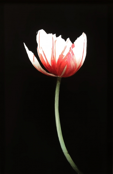 White & Red Tulip