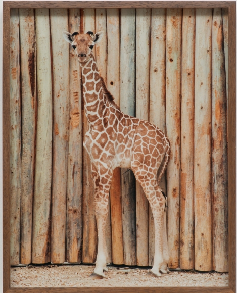 Elad Lassry, Giraffe, 60513, 2013