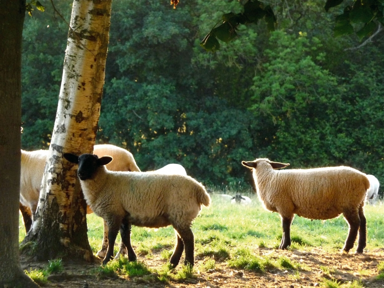 Karen Kilimnik, the pretty sheep in the golden english afternoon sunlight