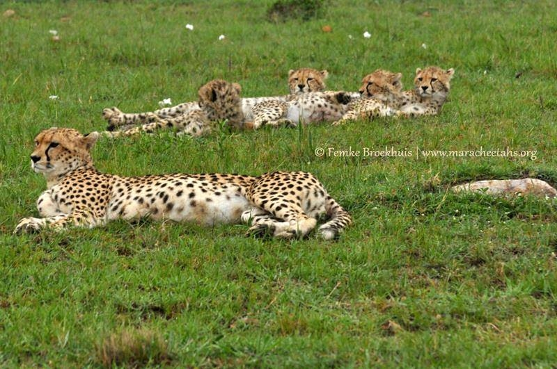 Mara Cheetah Project-Malaika and cubs