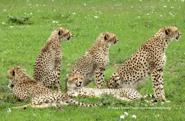 Wildscapes-Mara Cheetah Project-Malaika and Cubs