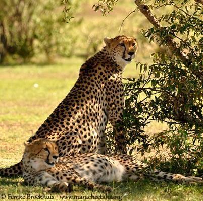 Wildscapes-Mara Cheetah Project-Amani