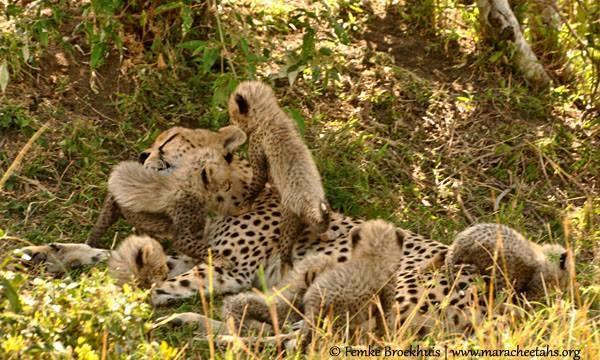 Wildscapes-Mara Cheetah Project-Kakenya