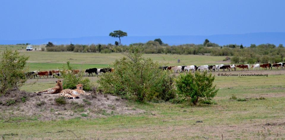 Wildscapes-Mara Cheetah Project-Oloololo boys