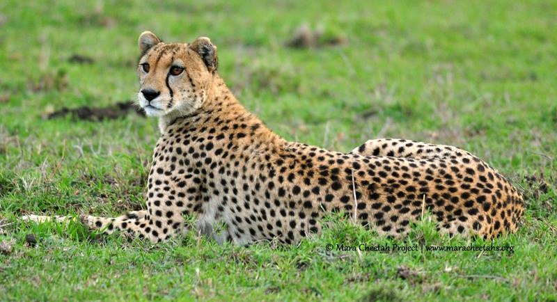 Wildscapes-Mara Cheetah Project-Narasha