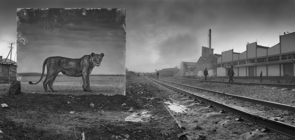 Railway with Lioness, 2015