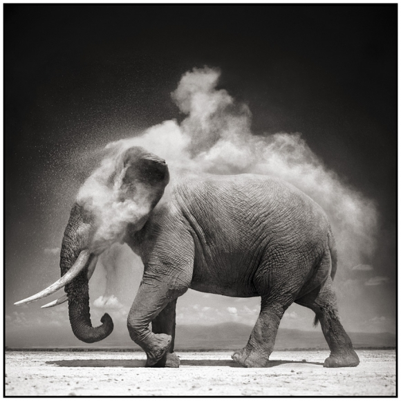 Elephant with exploding dust amboseli 2004
