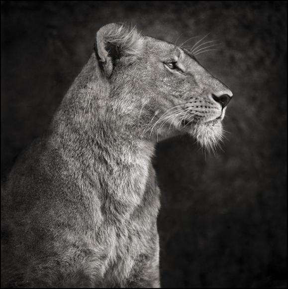 nick brandt portrait of lioness against rock serengeti
