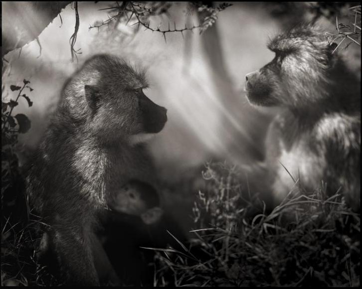 nick brandt baboons in profile amboseli