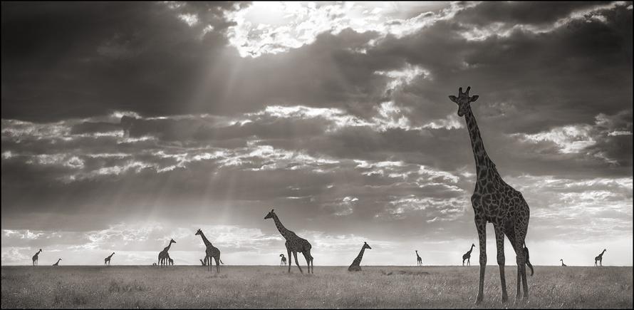 nick brandt giraffes in evening light maasai mara