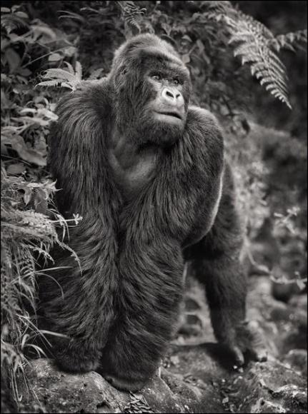 nick brandt gorilla on rock parc des volcans