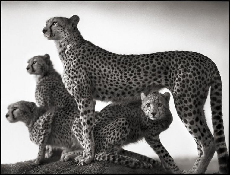 nick brandt cheetah cubs maasai mara