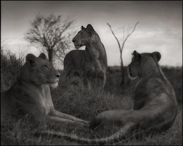 nick brandt lion circle serengeti