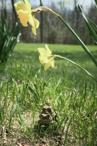 Daffodils, May 6, 2014, 2014