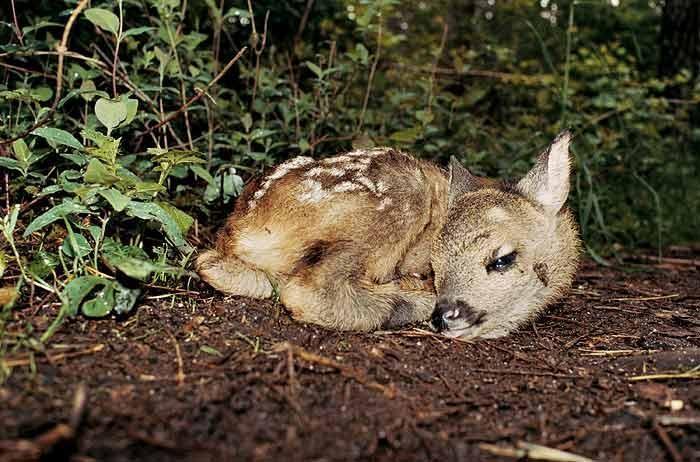 Bambi, Bubenreuth, 2005