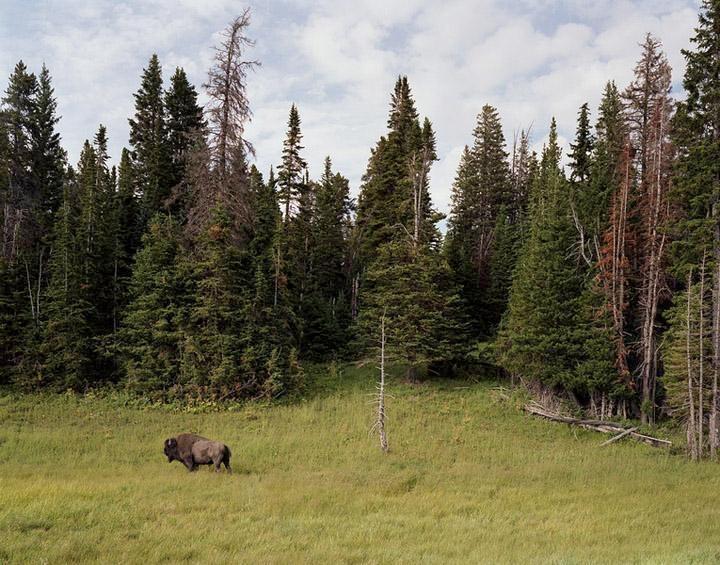 Bison, Yellowstone Park, Wyoming, 2007 Chromogenic print 40 x 50 inches