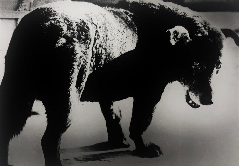 Stray Dog, Misawa, 1971, Gelatin silver print