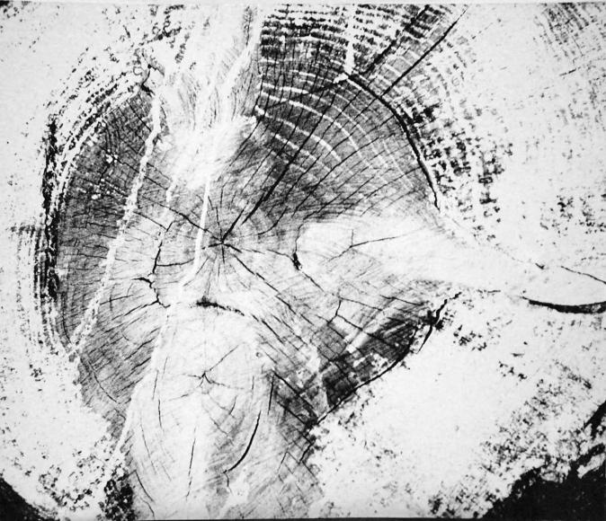 Mario Giacomelli - Motivo suggerito dal taglio dell'albero,1967-68(Motif suggested by the cut of the tree) | Bruce Silverstein Gallery
