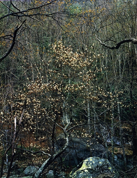 Eliot Porter -  Shad Tree in Bloom, Walnut Bottom Road, Great Smokey Mountains, Natural Park, TN, 1968 Dye transfer print, printed c. 1968  | Bruce Silverstein Gallery
