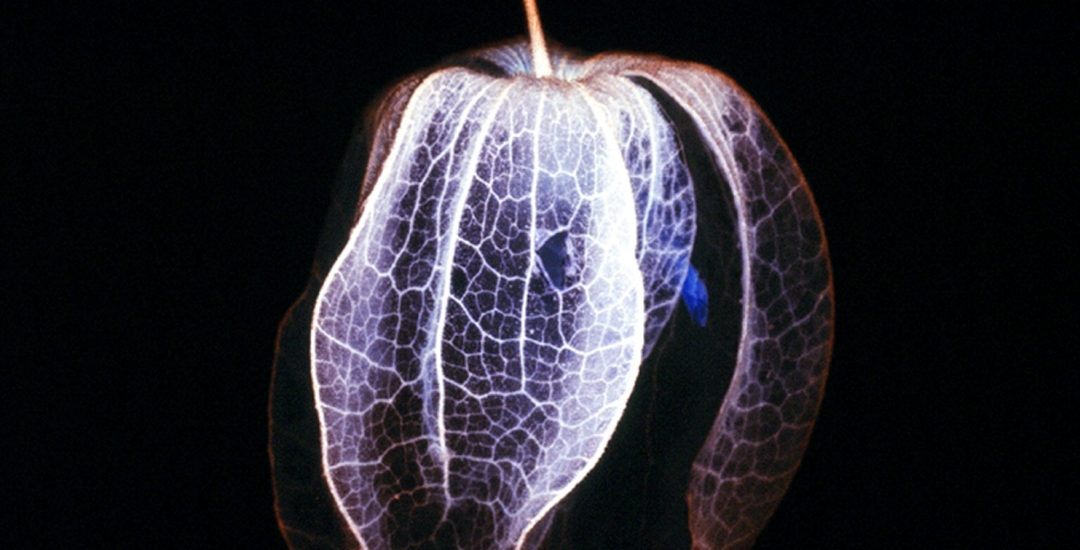 Gooseberry Pod (2005)