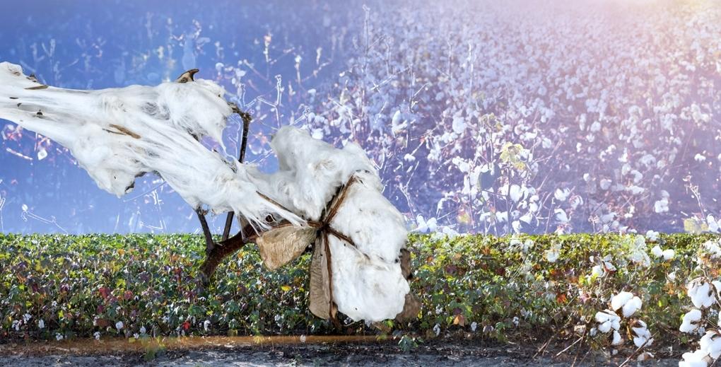 John Dowell  Cotton - Symbol of the Forgotten