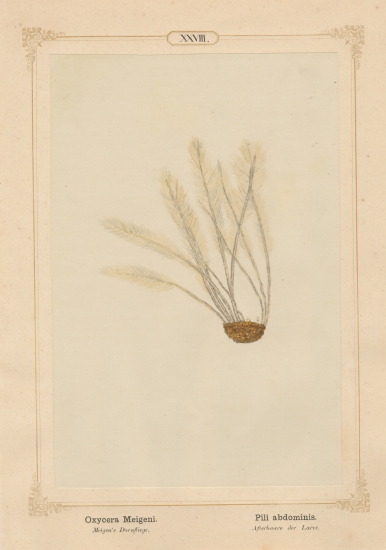 "Ernst HEEGER (Austrian, 1783-1866) ""Oxycera Meigeni. Pili abdominis."" (Feather-like brush of hairs at posterior end of abdomen of larva of Meigen's soldier fly), 1861 Hand colored salt print from a glass negative 20.3 x 13.4 cm mounted on 26.0 x 18.5 cm sheet"